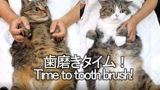 歯磨きされるねこ-time-to-brush-maru-s-tooth