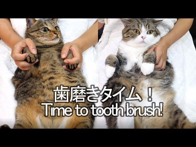 歯磨きされるねこ。-Time to brush Maru&Hanas tooth.-