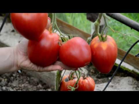 Обзор томатов 2016 года: Сербское сердце, сладкий кассади, сто пудов.