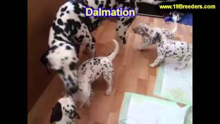 Dalmation, Puppies, For, Sale, In, Portland, Oregon, Or, Mcminnville, Oregon City, Grants Pass, Keiz