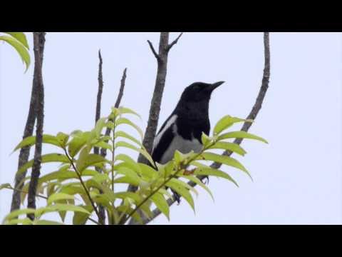 鵲鴝 Oriental Magpie Robin