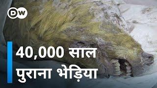 40 हजार साल पुराना भेड़िया [40,000 Years Old Wolf
