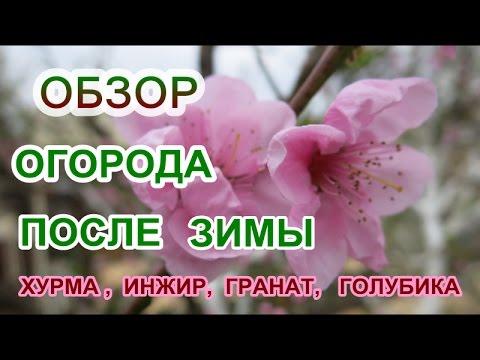 Кустарник жимолость съедобная: фото, описание, посадка