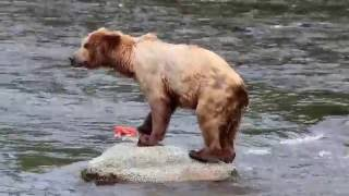 Grizzly Bears of Katmai National Park, Alaska - Brooks Falls