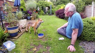 Friendly wild urban fox comes to be fed