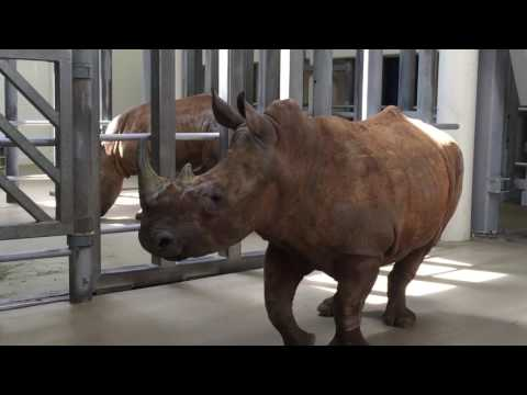White Rhinos Arrive at The Virginia Zoo