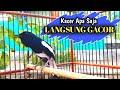 Pancingan Kacer Isian Full Buka Ekor Ngobra  Mp3 - Mp4 Download