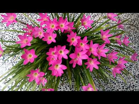 496 How To Grow N Care Rain Lily Pink Rain Lily Zephyranthes