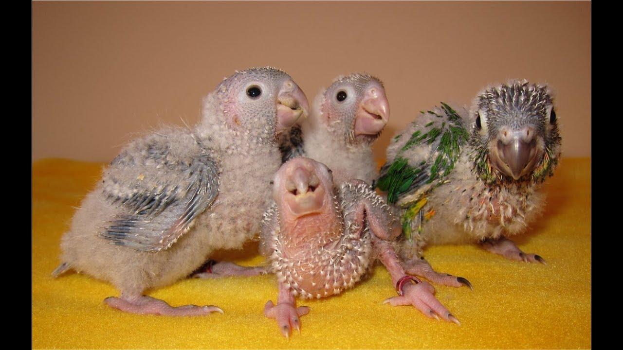 3-4 week old Baby Green Cheek Conures - YouTube - photo#38