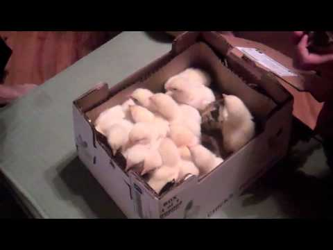 First Time - Mail Order Chicks