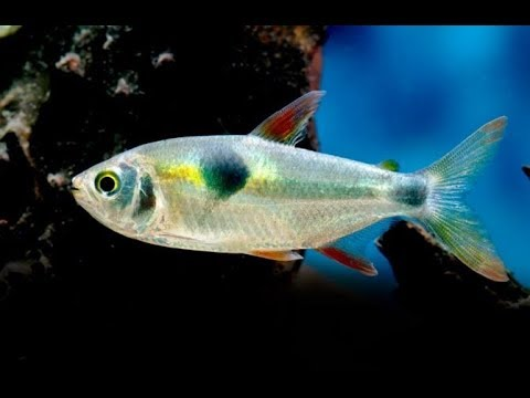 25 Different Types Of Tetra Fish Youtube