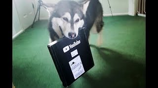 Malamute Threatens To Go On Strike |  After He Gets His Silver Play Button