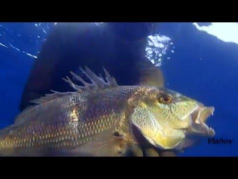 Spearfishing, Podvodni ribolov, Croatia, Dentex Dentex X
