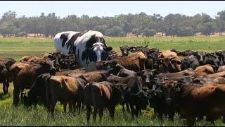 La vache trop grande pour être acceptée à l'abattoir
