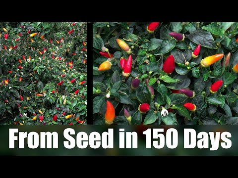 🌶️ Twilight Chili plant growing from Seed to Rainbow Fruit (150 Days Time- Lapse)