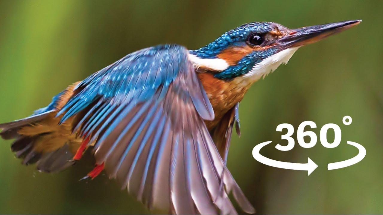 Kingfisher Flying Flight of the K...