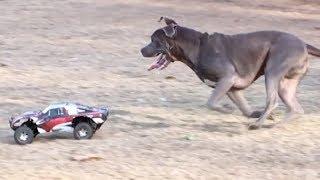 1 RC Car vs. 9 Dogs