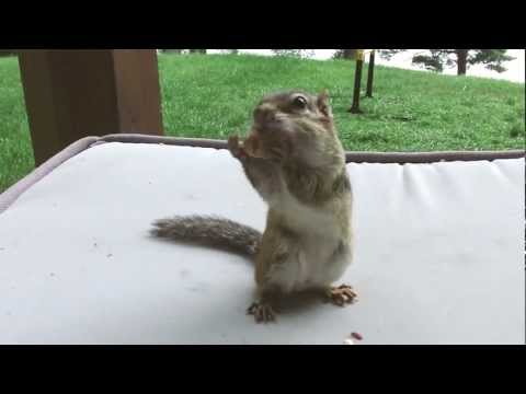 Cute chipmunk - Feeding the chipmunks at the cottage