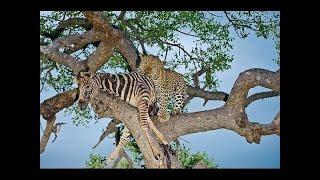تسلق شجرة النمر لا تصدق لا يصدق مع حمار وحشي. ليوبارد الصيد زيبرا. هجوم الحيوانات البرية.