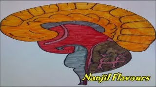# 084 Human Brain - Outline drawing and coloring - Kids school projects