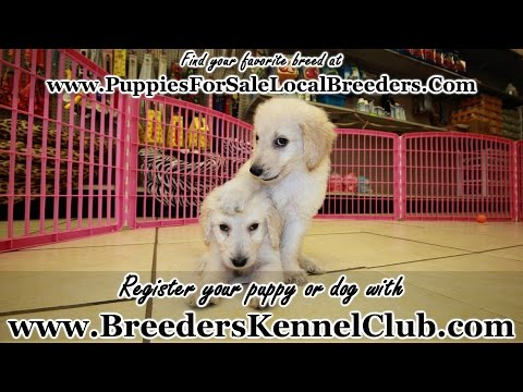 GOLDENDOODLE PUPPIES FOR SALE GEORGIA LOCAL BREEDERS