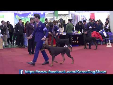 2016.12.04 Seocho FCI & KKF Dog Show(Doberman pinscher)