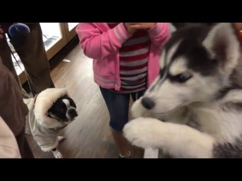 Snow Dog Puppies in the Window:  American Eskimo and Siberian Husky puppies