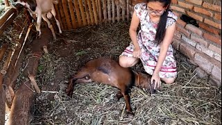 Menidurkan Kambing || Learn to control goats #2