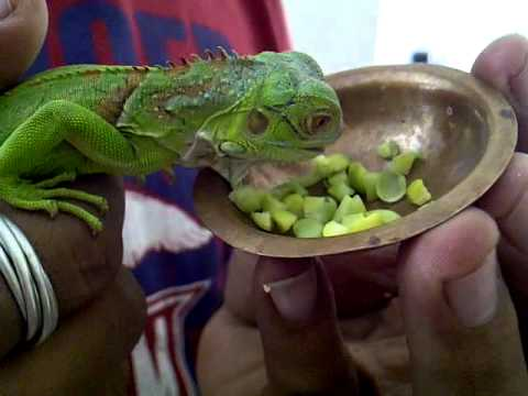 how to get a baby iguana to eat