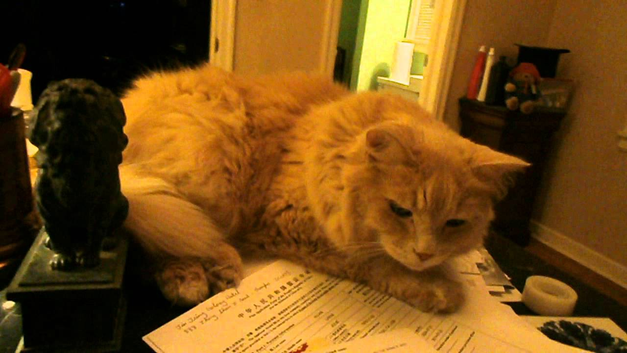 """Sandy"" cat being cute"