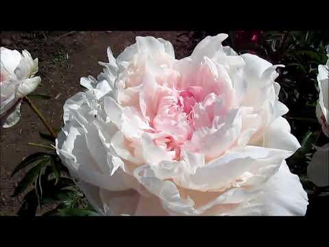 Флоренс Эллис розовый пион