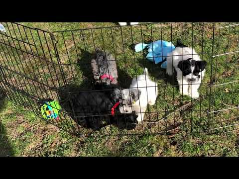Dottie's litter of miniature schnoodles April 11, 2019
