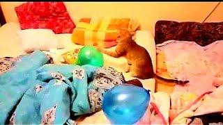 Кот против воздушного шара