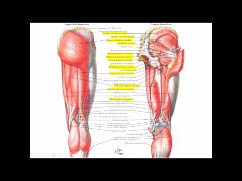 Anatomy of Gluteal Region (Musculoskeletal System) - YouTube
