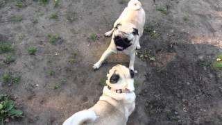 Мопсы дерутся // Dogs fight - pugs fight