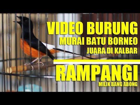 STUDIO BURUNG : Video Burung Murai Batu Borneo Juara Di KalBar | RAMPANGI Milik Bang Abong