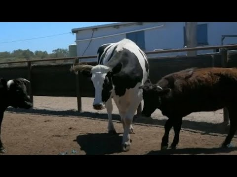 In other moos: Australia's biggest cow avoids abattoir