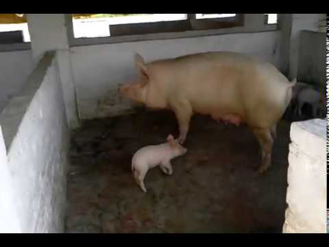 Pig farm in india parveen sharma 8708804495 9988004485intellent pig pig farm in india parveen sharma 8708804495 9988004485intellent pig farming publicscrutiny Choice Image