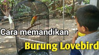 Tiga Cara Memandikan Burung Lovebird Yang Benar Youtube