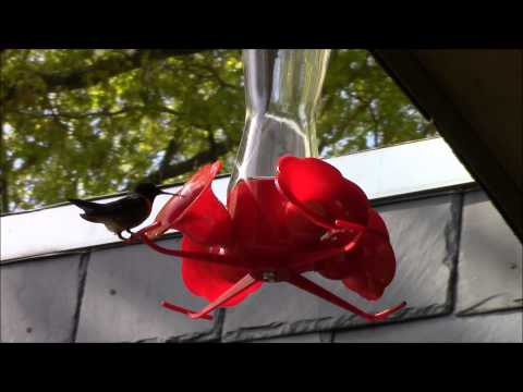 Hummingbirds in New Jersey