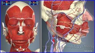 Ротовая полость, особенности строения | 3D Анатомия человека | Внутренние органы