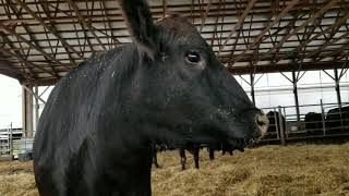 A visitor in the steer Barn Kubota New Black Angus calves on the way