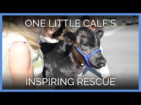One Little Calf's Inspiring Rescue
