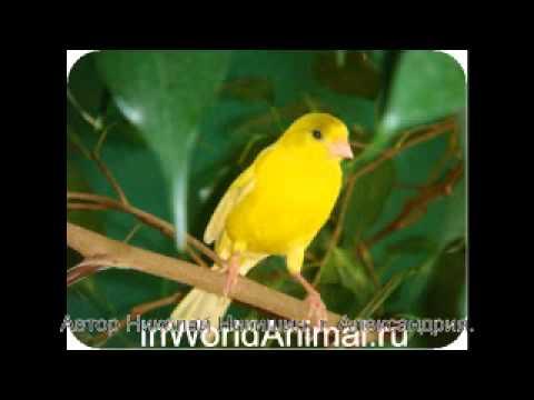 видео: Песня кенара для обучения молодых самцов.
