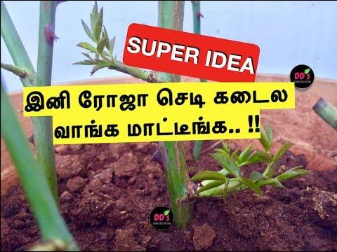 SUPER IDEA 2- இனி ROSE ரோஜா செடி கடையில் வாங்க மாட்டீங்க!!WOWW ROSE CUTTING TIPS|Maadi/veetu thottam