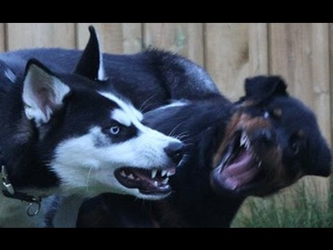 siberian-husky-vs-rottweiler