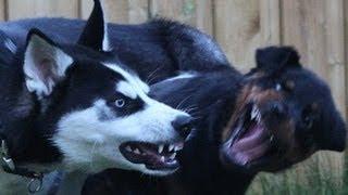 Siberian Husky vs Rottweiler thumbnail
