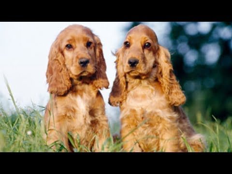 English Cocker Spaniel 2018 Dogs Review & Photos | Cute Pets Review