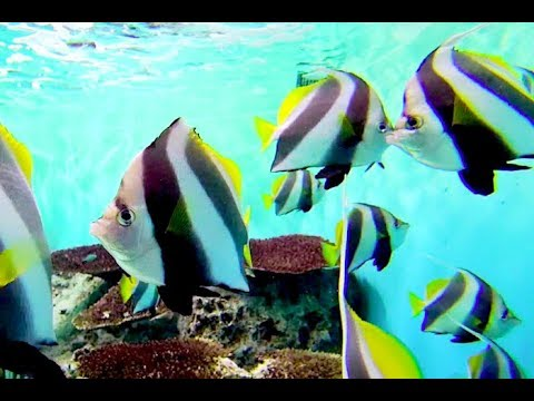 ムレハタタテダイ False Moorish Idol, Schooling Bannerfish Heniochus Diphreutes