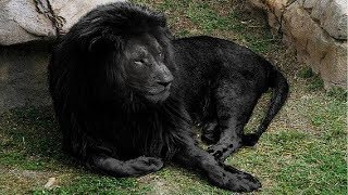 5 सबसे दुर्लभ शेर // 5 Most Unique Lions in the World
